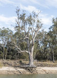 产树胶之树根 免版税库存照片