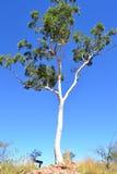 产树胶之树白色 免版税库存图片