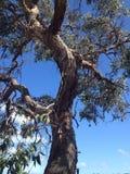 产树胶之树 免版税库存图片