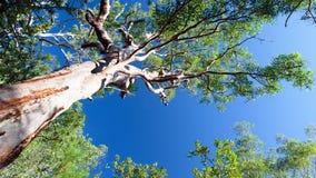 产树胶之树 库存图片