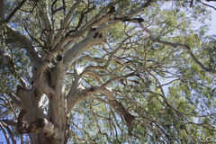产树胶之树 免版税图库摄影