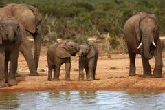 产犊大象 免版税库存照片