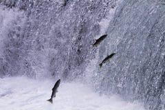 产生三文鱼在不列颠哥伦比亚省游泳向上游 免版税库存图片