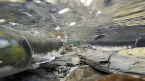 产生清楚的冰川小河动物野生生物的野生和平的桃红色三文鱼 股票录像