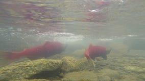 产生清楚的冰川小河动物野生生物的野生和平的桃红色三文鱼 股票视频