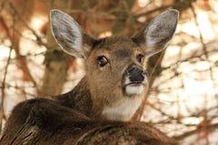 产生眼睛的白尾鹿母鹿 免版税库存图片