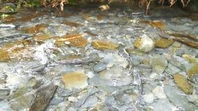 产生鱼狂放的三文鱼游泳小河河联接的游泳 股票视频