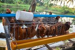 产蛋鸡在农场 库存图片