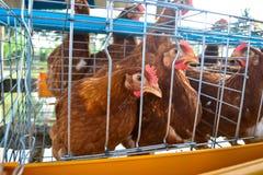 产蛋鸡在农场 免版税库存图片
