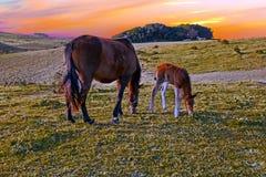 产驹与在夏天牧场地的一匹母马在日落 库存照片