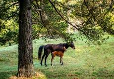 产驹与在山牧场地的一匹母马 免版税库存照片