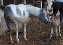 产驹她的母马 免版税库存图片