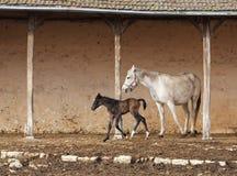 产驹她的母马 免版税库存照片