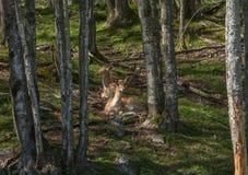 享受一个夏日的鹿 免版税库存照片