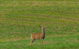 享受一个夏日的鹿 库存图片