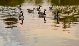 享受一个早晨的加拿大鹅群游泳 库存图片
