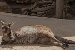 享受一点休息的袋鼠 库存照片