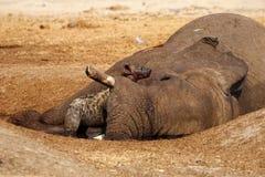 享受一顿大膳食的被察觉的鬣狗 库存图片