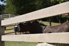 享受与一张微笑的面孔的小马午餐时间在一个农场在一好天儿 免版税库存照片