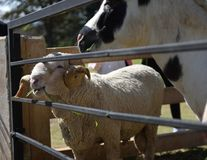 享受与微笑的面孔的绵羊午餐时间在一个农场在一好天儿 库存照片