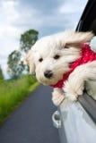 享受与汽车的狗乘驾 免版税库存图片