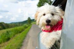 享受与汽车的狗乘驾 免版税库存照片