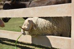 享受他们的与微笑的面孔的绵羊和小马午餐时间在一个农场在一好天儿 库存照片