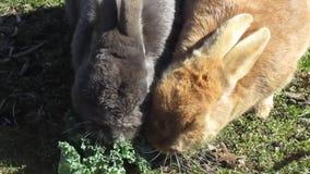 享受他们的无头甘蓝膳食,加拿大,春天的可爱的五颜六色的小兔2019年 股票视频