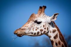 享受午餐的长颈鹿 图库摄影