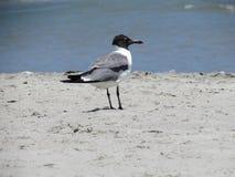 享受在海滩的笑的鸥一个温暖的晴天 免版税库存照片