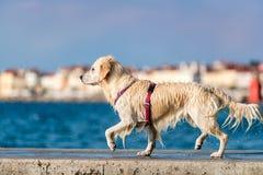 享受夏天的金毛猎犬狗 免版税库存图片