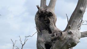 享受天的橡树树精古老化石森林庆祝2000年8 免版税图库摄影
