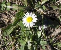 享受太阳` s光芒的春黄菊 免版税库存图片
