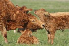 享受它妈咪修饰的一头逗人喜爱的小母牛小牛 库存照片