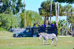 享受徒步旅行队游览的人们,观察长颈鹿 在前景在布什加尔德角的一匹好的斑马 免版税库存照片