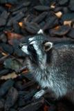 享受日落的一个小组浣熊在公园在加里宁格勒 免版税库存图片