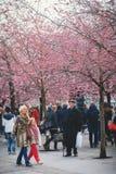 享受樱桃blosssom的人们在Kungstradgarden 库存照片