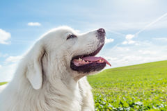 享受步行的大护卫犬在一个晴天 擦亮Tatra护羊狗 免版税库存图片