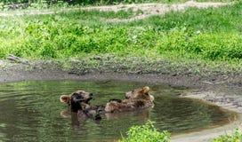 享受池边聚会的两头北美灰熊 库存图片