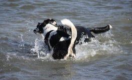 享受游泳的我的两条狗 免版税图库摄影