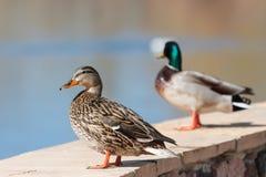 享受看法的两只野鸭 免版税库存图片