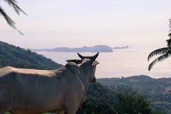 享受看法的母牛 免版税库存图片