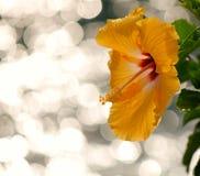 享受背景的木槿! 免版税库存图片