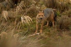 享受膳食的安地斯山的狐狸 库存照片