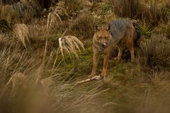 享受膳食的安地斯山的狐狸 免版税库存照片