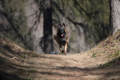 享受自由本质上的比利时牧羊人小狗 免版税库存照片