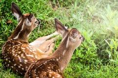 享受阳光的两只白尾鹿小鹿 免版税库存照片