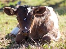 享受阳光的牛奶店小牛 库存图片