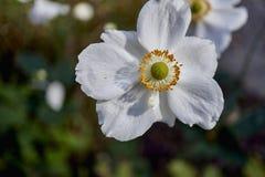 享受阳光的银莲花属 库存图片