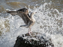 享受青年时期的丰富海鸥 免版税库存照片
